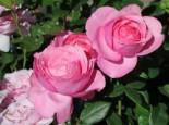 Edelrose 'Desirée' ®, Rosa 'Desirée' ® ADR-Rose, Wurzelware