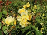 Edelrose 'Duftgold', Rosa 'Duftgold', Containerware