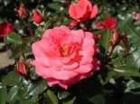 Edelrose 'Focus' ®, Rosa 'Focus' ®, Containerware