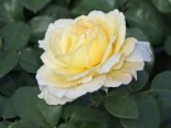 Edelrose 'La Perla' ®, Rosa 'La Perla' ® ADR-Rose, Wurzelware