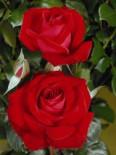 Edelrose 'Red Brokat' ®, Rosa 'Red Brokat' ®, Wurzelware
