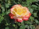 Edelrose 'Speelwark' ®, Rosa 'Speelwark' ®, Wurzelware