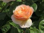 Edelrose 'Tropicana' ®, Rosa 'Tropicana' ®, Containerware