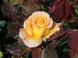 Edelrose 'Whisky' ®, Rosa 'Whisky' ®, Wurzelware