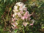 Eichenblättrige Hortensie 'Snow Queen', 30-40 cm, Hydrangea quercifolia 'Snow Queen', Containerware