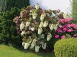 Eichenblättrige Hortensie 'Snowflake', 30-40 cm, Hydrangea quercifolia 'Snowflake', Containerware