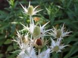 Elfenbein-Mannstreu, Eryngium giganteum, Topfware