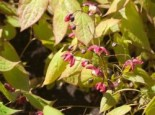 Elfenblume 'Galadriel', Epimedium x rubrum 'Galadriel', Topfware