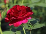 Englische Rose 'Darcey Bussell', Rosa 'Darcey Bussell', Containerware