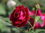 Englische Rose 'Falstaff', Rosa 'Falstaff', Containerware