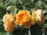 Englische Rose 'Graham Thomas', Rosa 'Graham Thomas', Containerware