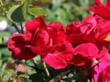 Englische Rose 'L.D. Braithwaite' ®, Rosa 'L.D. Braithwaite' ®, Wurzelware