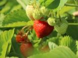 Erdbeere 'Honeoye', Fragaria 'Honeoye', Containerware