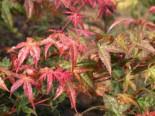 Fächer-Ahorn 'Beni komachi', 30-40 cm, Acer palmatum 'Beni komachi', Containerware
