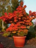 Fächer-Ahorn 'Mikawa yatsubusa', Stamm 50-60 cm, Acer palmatum 'Mikawa yatsubusa', Stämmchen