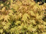 Fächer-Ahorn 'Orange Dream', 60-80 cm, Acer palmatum 'Orange Dream', Containerware