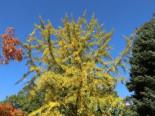Fächerblattbaum / Ginkgobaum, 40-60 cm, Ginkgo biloba, Containerware