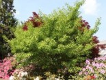 Fächerblattbaum 'Saratoga', 100-125 cm, Ginkgo biloba 'Saratoga', Containerware