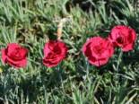 Feder-Nelke 'Munot', Dianthus plumarius 'Munot', Topfware