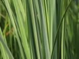 Feuchtwiesen Segge, Carex elata, Topfware