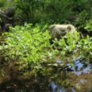Fieberklee, Menyanthes trifoliata, Topfware