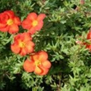 Fingerstrauch 'Marian Red Robin' ®, 20-30 cm, Potentilla 'Marian Red Robin' ®, Containerware