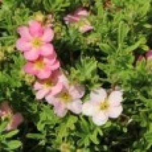 Fingerstrauch 'Pink Lady', 20-30 cm, Potentilla fruticosa 'Pink Lady', Containerware
