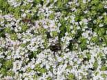 Frühblühender Thymian 'Albiflorus', Thymus praecox 'Albiflorus', Topfware