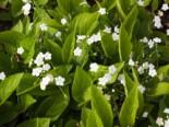 Frühlings Gedenkemein 'Alba', Omphalodes verna 'Alba', Topfware