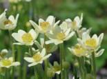 Frühsommer-Windröschen 'Annabella White', Anemone multifida 'Annabella White', Topfware
