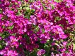 Gänsekresse 'Little Treasure Deep Rose', Arabis caucasica 'Little Treasure Deep Rose', Topfware