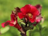 Gauklerblume 'Roter Kaiser', Mimulus cupreus 'Roter Kaiser', Topfware