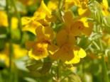 Gelbe Gauklerblume, Mimulus luteus, Topfware