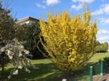 Goldulme 'Wredei', 60-80 cm, Ulmus carpinifolia 'Wredei', Containerware