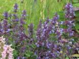 Großblütige Katzenminze 'Blue Danube', Nepeta grandiflora 'Blue Danube', Topfware