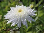 Großblumige Margerite 'Eisstern', Leucanthemum x superbum 'Eisstern', Topfware