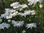 Großblumige Margerite (gefüllt), Leucanthemum x superbum (gefüllt), Topfware