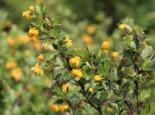 Grüne Polster-Berberitze 'Nana', 20-25 cm, Berberis buxifolia 'Nana', Containerware