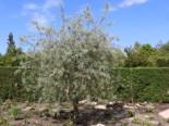 Hängende Wildbirne 'Pendula', 80-100 cm, Pyrus salicifolia 'Pendula', Containerware