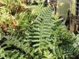Heimischer Goldschuppenfarn, Dryopteris affinis, Topfware