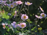 Herbst-Anemone 'Pink Saucer', Anemone japonica 'Pink Saucer', Topfware