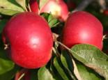Herbstapfel 'Akane' / 'Prime Rouge' / 'Primrouge', Stamm 40-60 cm, 120-160 cm, Malus 'Akane', Wurzelware