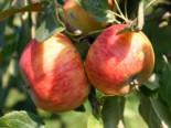 Herbstapfel 'Apollo', Stamm 40-60 cm, 120-160 cm, Malus 'Apollo', Wurzelware