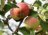 Herbstapfel 'Ariwa', Stamm 40-60 cm, 120-160 cm, Malus 'Ariwa', Wurzelware