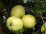 Herbstapfel 'Holsteiner Zitronenapfel', Stamm 40-60 cm, 120-160 cm, Malus 'Holsteiner Zitronenapfel', Wurzelware