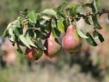 Herbstbirne 'Clapps Liebling', Stamm 40-60 cm, 120-160 cm, Pyrus communis 'Clapps Liebling', Wurzelware