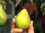 Herbstbirne 'Köstliche von Charneux', Stamm 40-60 cm, 120-160 cm, Pyrus communis 'Köstliche von Charneux', Wurzelware