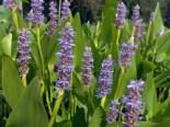 Herzblättriges Hechtkraut, Pontederia cordata, Topfware
