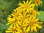 Hesses-Goldkolben 'Gregynog Gold', Ligularia x hessei 'Gregynog Gold', Topfware