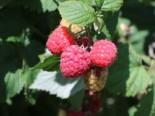 Himbeere 'Aroma Queen', 40-60 cm, Rubus idaeus 'Aroma Queen' ®, Containerware